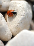 Ladybug on Rocks. Macro of a ladybug on tiny beach stones stock photos
