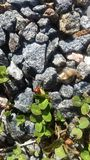 Ladybug on rocks Stock Photography