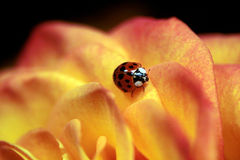 Ladybug on Rose Royalty Free Stock Photo