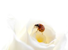 Ladybug  on rose Stock Photography
