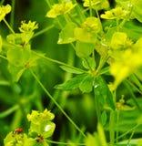 Ladybug rosso sul fiore giallo Fotografie Stock