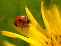 Ladybug rosso sul fiore giallo Fotografia Stock