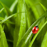 Ladybug running along on blade of  green grass Royalty Free Stock Images