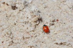 Ladybug in the salt desert of atacama Royalty Free Stock Image