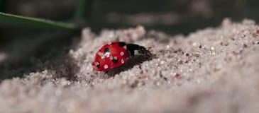 Ladybug on sand. Closeup of a ladybug crawling on sand. Family name: Coccinellidae. Narrow depth of field Royalty Free Stock Image