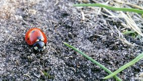 Ladybug on the sand near a blade of grass stock image