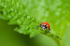 Ladybug saying hello Royalty Free Stock Photography