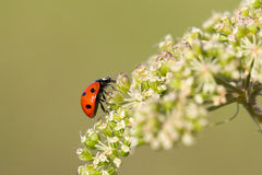 Ladybug scrambling to reach the top Stock Photos