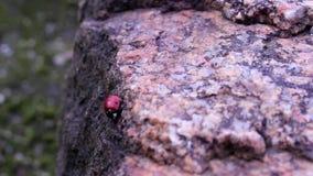 Ladybug on a granite stone stock video