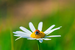 Ladybug sits on a beautiful daisy Stock Images