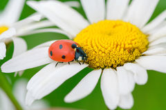 Ladybug sits on a camomile flower Stock Images