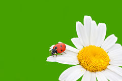 Ladybug sits on a chamomile flower a close up Royalty Free Stock Images
