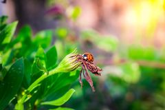 Ladybug sits on a dried flower at sunset stock image