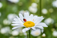 Ladybug sits on a flower Royalty Free Stock Images