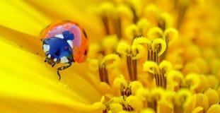 Ladybug sits on a flower Stock Photos