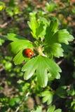 Ladybug sits on a freshly unfolded leaf royalty free stock image