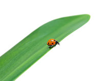 Ladybug sits on a green leaf. Closeup on white background Royalty Free Stock Photos