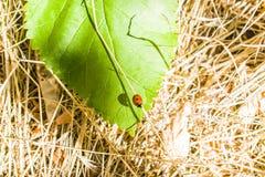 The ladybug sits on a sheet Royalty Free Stock Photo