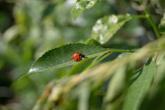 Ladybug sits on a plant leaf Stock Photos