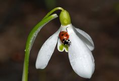 The ladybug sits on a snowdrop flower royalty free stock image