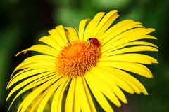 The ladybug sits on a yellow daisy flower isolated green background Royalty Free Stock Photo