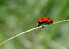 Ladybug sitting on blade Royalty Free Stock Images