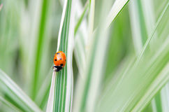 Ladybug sitting on the blade of grass. Royalty Free Stock Photo