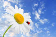 Ladybug is sitting on camomile against sky Royalty Free Stock Images