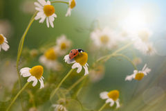 Ladybug sitting on Chamomile Stock Image