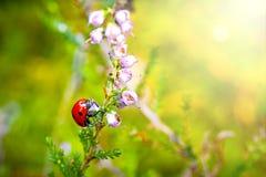 Ladybug sitting on flower during sunset Royalty Free Stock Photo