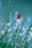 Ladybug. Sitting on grass covered with morning dew Royalty Free Stock Photography