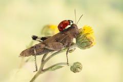Ladybug sitting on a grasshopper on a light green background Royalty Free Stock Image