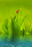 Ladybug sitting on green grass Royalty Free Stock Image