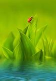 Ladybug sitting on green grass Royalty Free Stock Image