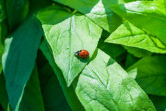 Ladybug sitting on a green grass Royalty Free Stock Photos