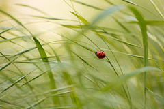 Ladybug sitting on green grass Stock Photos