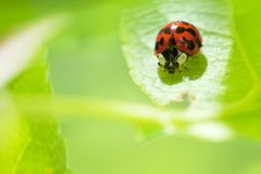Ladybug sitting on a green lea Stock Image