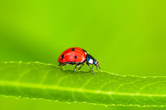 Ladybug sitting Royalty Free Stock Photo