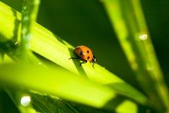 Ladybug sitting on green leaf Royalty Free Stock Photos