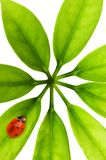 Ladybug sitting on a green leaf Royalty Free Stock Images