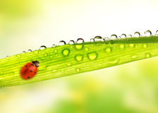 Ladybug sitting on a green leaf Royalty Free Stock Photo