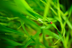 Ladybug sitting on a green leaf, background,conceptually. Ladybug sitting on a green leaf, background Royalty Free Stock Photography
