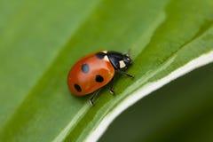 Ladybug sitting on a green leaf Stock Image