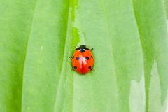 Ladybug sitting on a green leaf Stock Photography