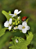 Ladybug sitting on a green leaf, nature Royalty Free Stock Photography