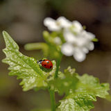 Ladybug sitting on a green leaf, nature Royalty Free Stock Photos