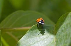 Ladybug sitting on a green leaf Royalty Free Stock Photos