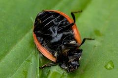 Ladybug sitting on a green leaf Stock Photo