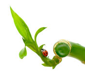 Ladybug sitting on a green plant. On white background Stock Image