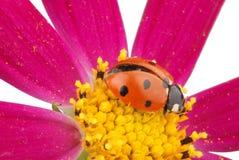 Ladybug sitting on kosmeyi Royalty Free Stock Photography